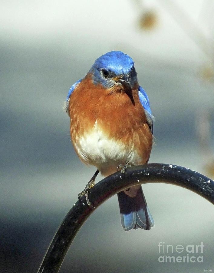 Bluebird 39 by Lizi Beard-Ward