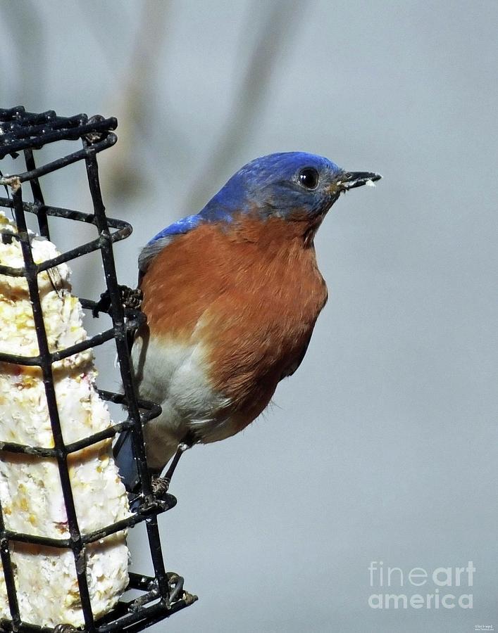 Bluebird 40 by Lizi Beard-Ward