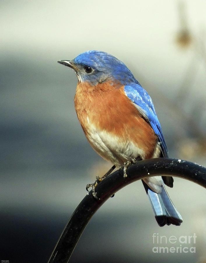 Bluebird 42 by Lizi Beard-Ward