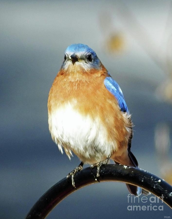 Bluebird 44 by Lizi Beard-Ward