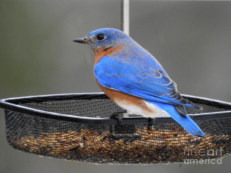 Bluebird at my Feeder by Eunice Miller