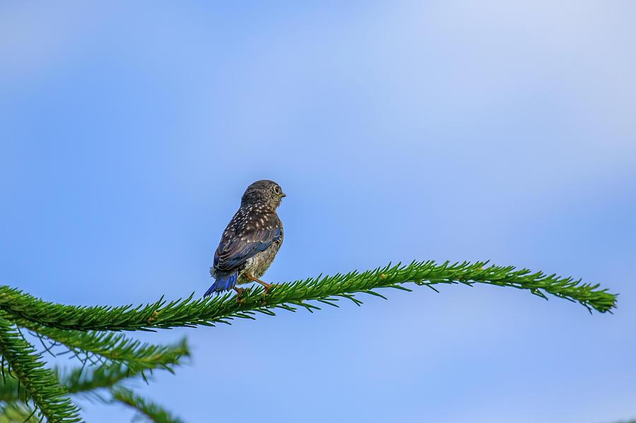 Bluebird Fledgling by Gary Hall
