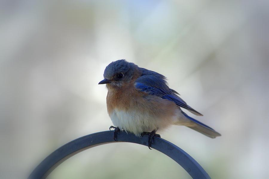 Female Photograph - Bluebird Fluff by Marty Bozeman