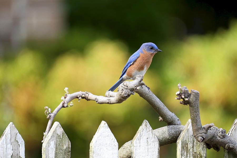 Bluebird in Colonial Williamsburg by Rachel Morrison