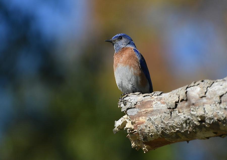 Bluebird Of Happiness 4 by Fraida Gutovich