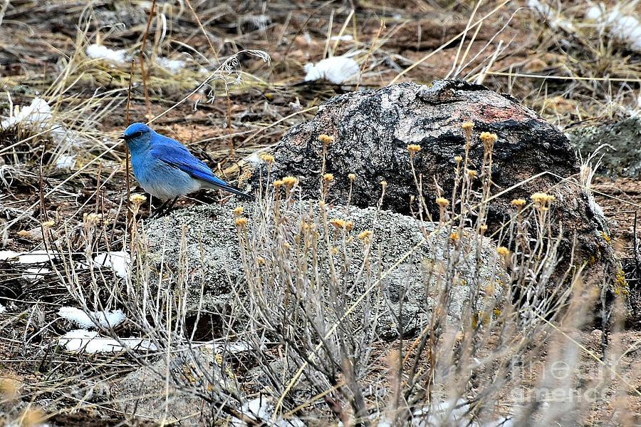 Bluebird on Rock by Dorrene BrownButterfield
