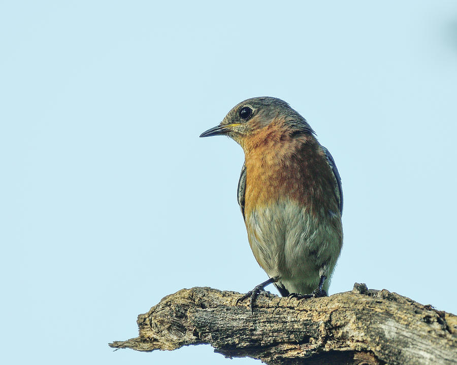 Bluebird on lookout by Philip Duff
