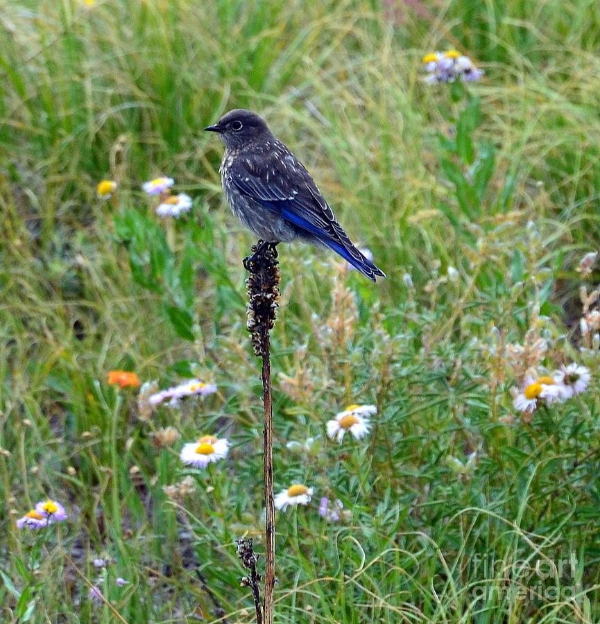 Bluebird Perch by Dorrene BrownButterfield