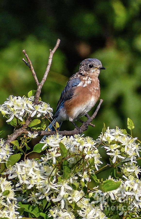 Bluebird Sitting Among Sweet Autumn Clematis by Cindy Treger