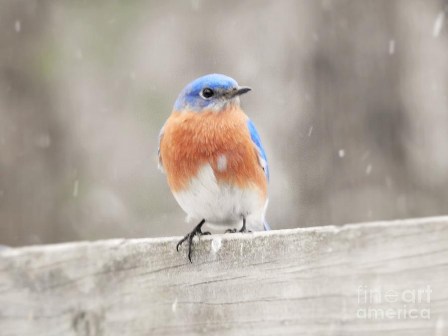 Bluebird with Snow by Eunice Miller