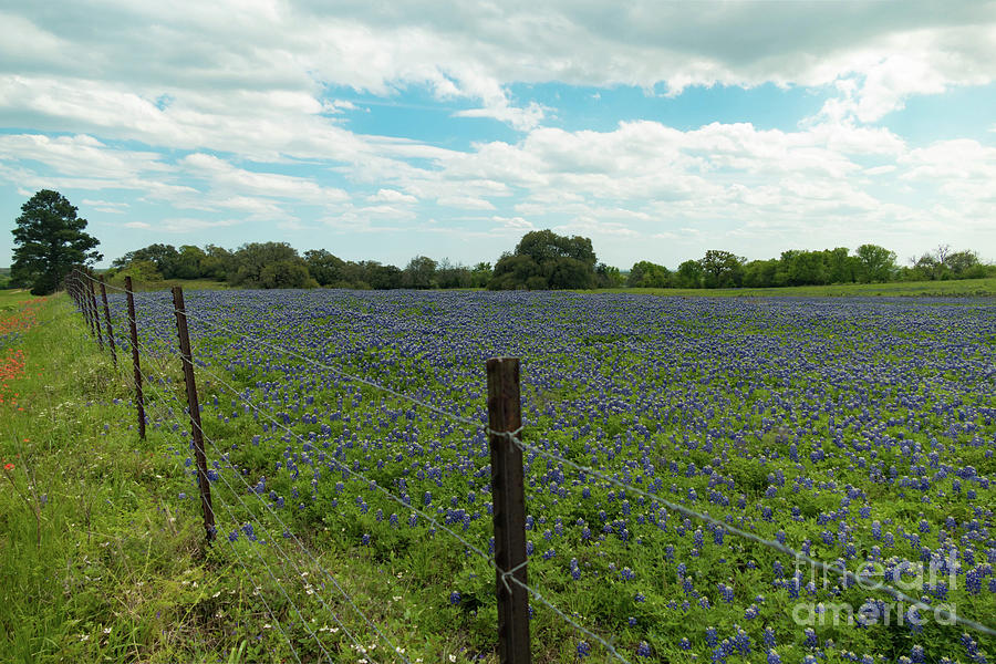 Bluebonnet field 1 by Elijah Knight