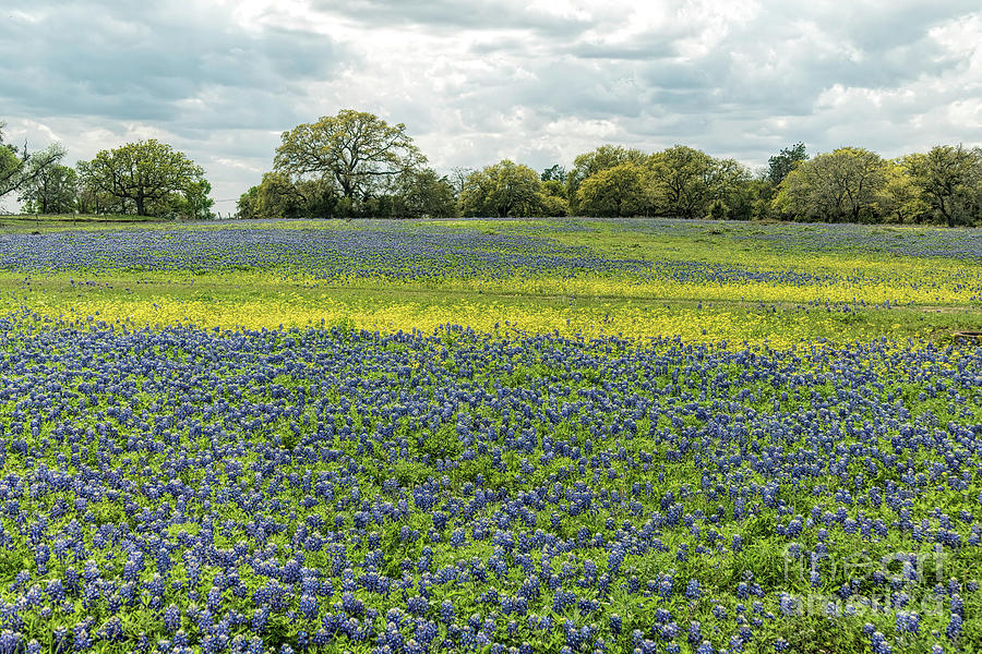 Bluebonnet field 2 by Elijah Knight