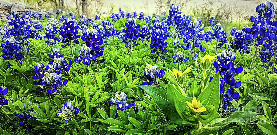 Bluebonnet patch by Elijah Knight