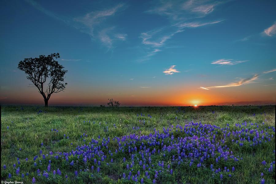 Bluebonnet Sunrise by Gaylon Yancy