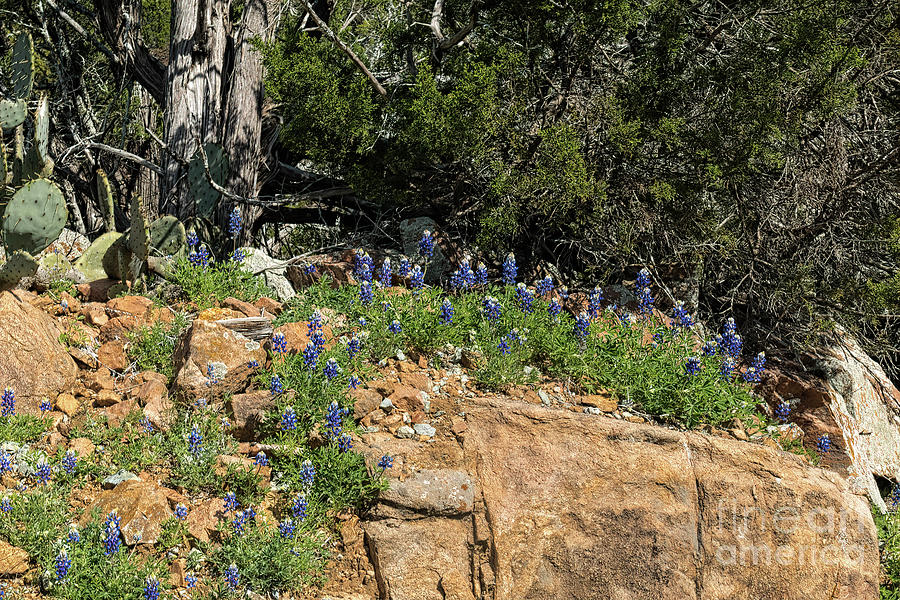 Bluebonnets 3 by Elijah Knight