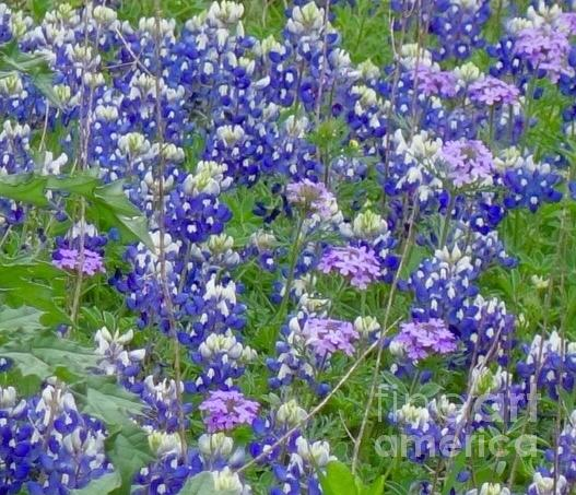 Bluebonnets and Other Wild Flowers by Janette Boyd