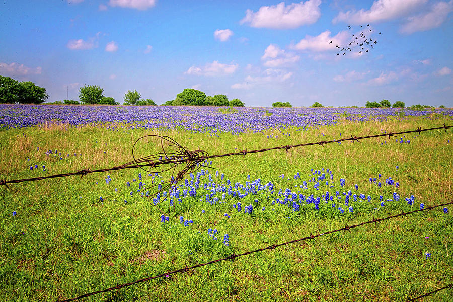 Bluebonnets Barbs and Birds in the Hill Country by Lynn Bauer
