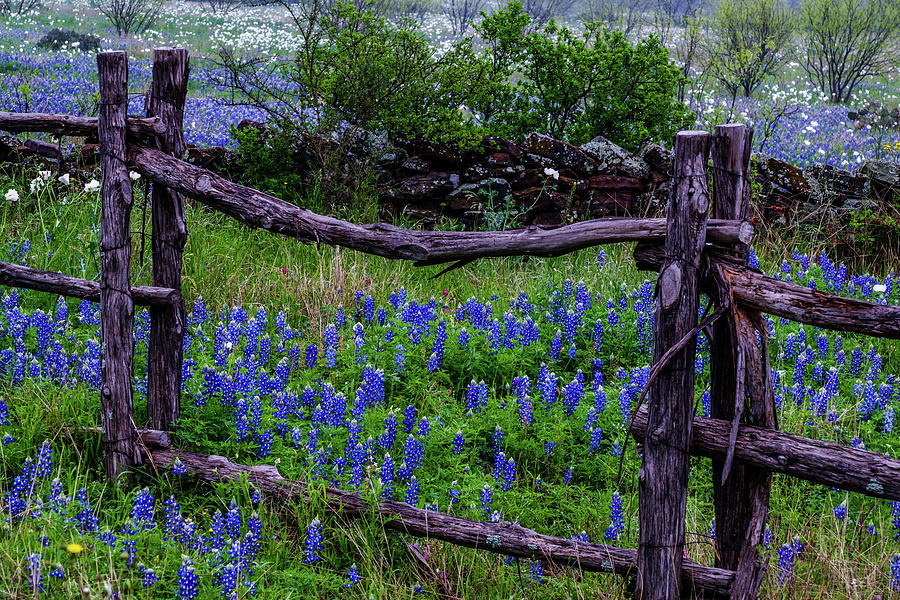 Bluebonnets Framed by Johnny Boyd