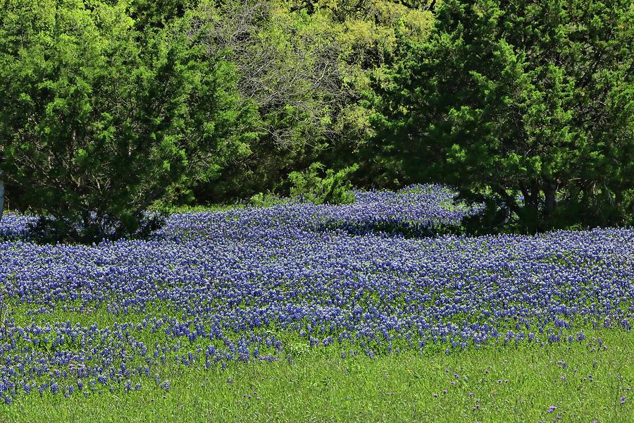 Bluebonnets of Texas # 2 by Allen Beatty