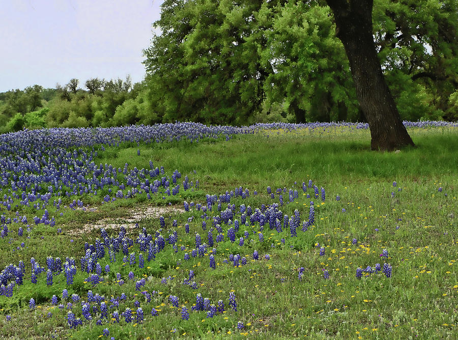 Bluebonnets of Texas # 26 by Allen Beatty