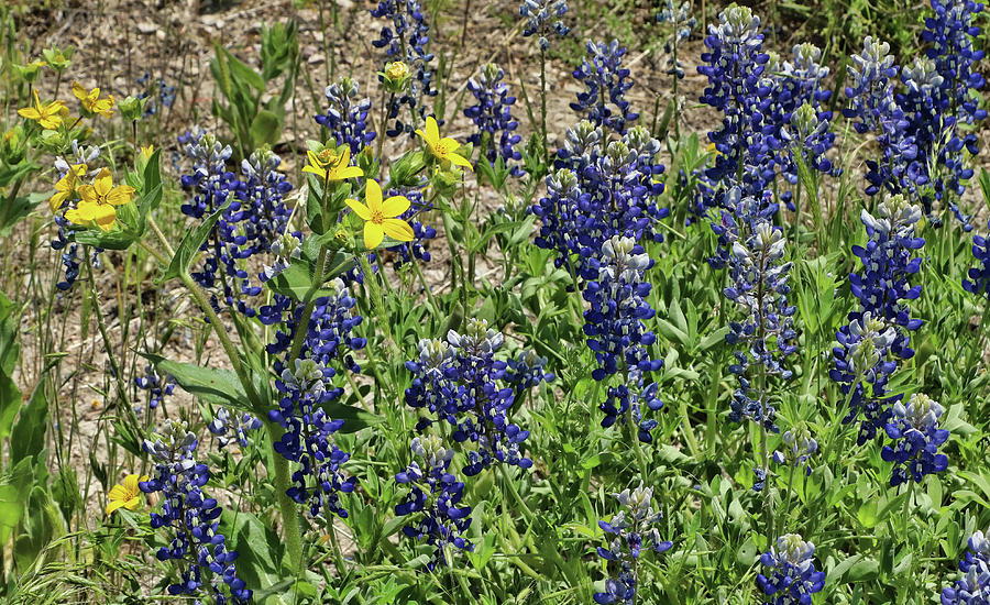 Bluebonnets of Texas # 27 by Allen Beatty