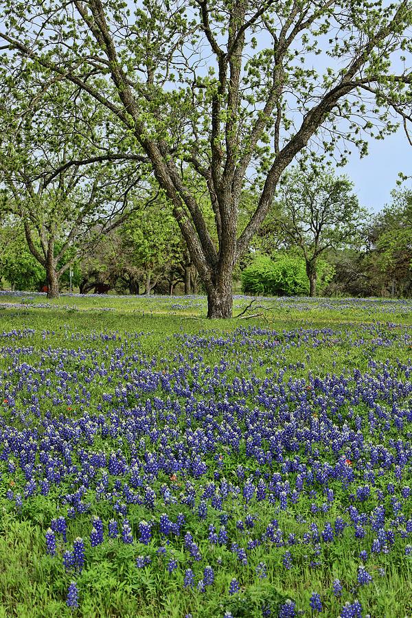 Bluebonnets of Texas # 4 by Allen Beatty