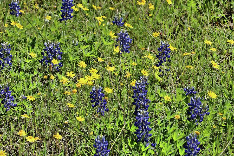 Bluebonnets of Texas # 5 by Allen Beatty