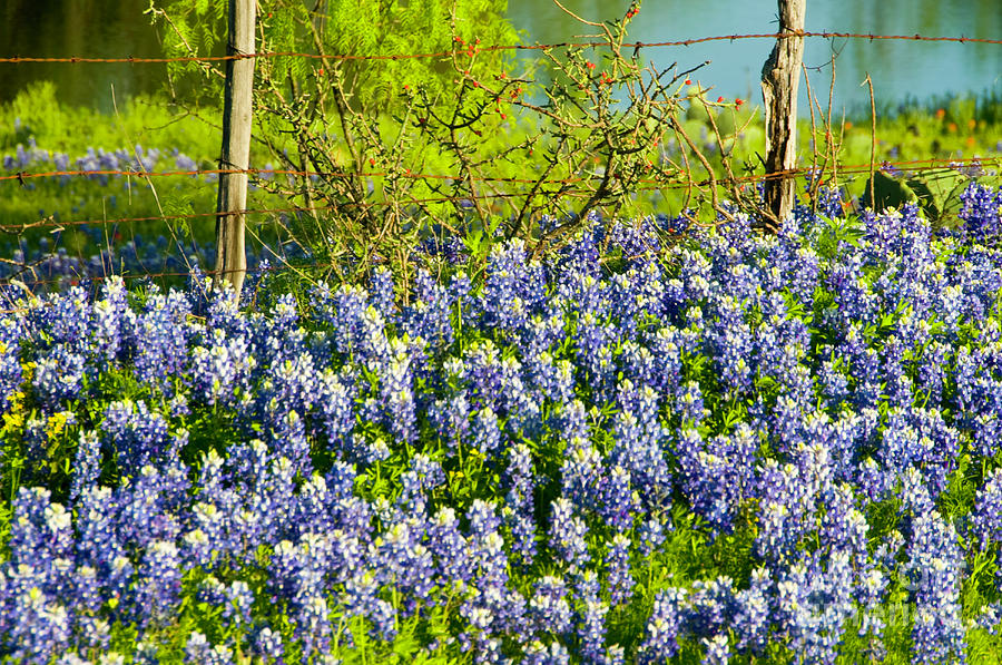 Bluebonnets, Texas Photograph by Donovan Reese