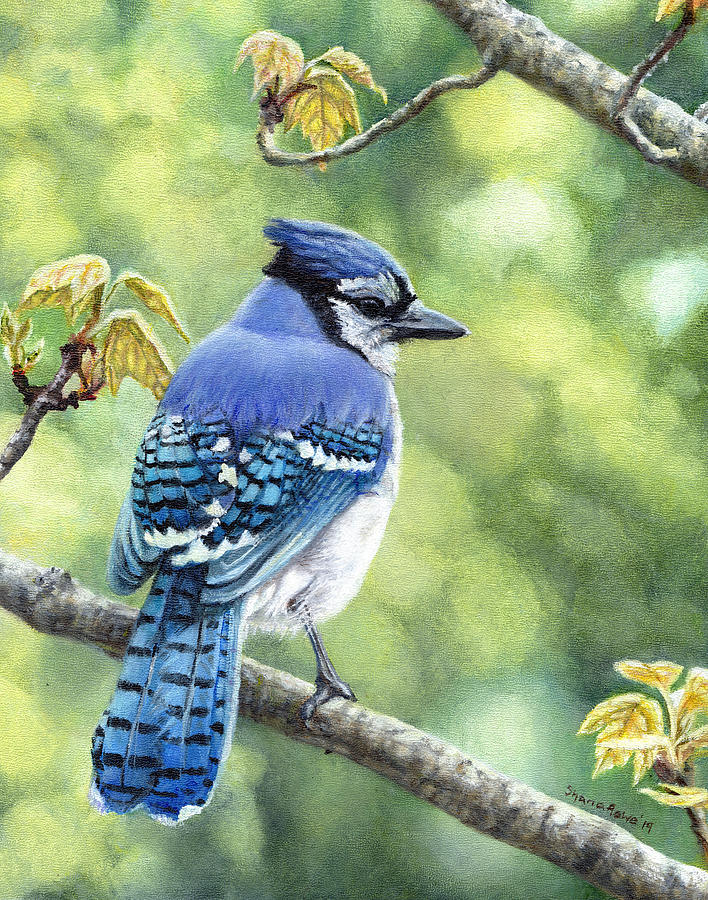Blue Jay in Spring by Shana Rowe Jackson
