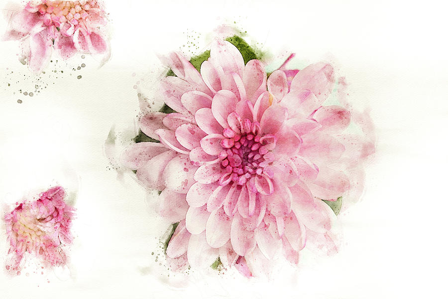 Blush pink Chrysanthemum flower  by Edita Edith Anna Brus