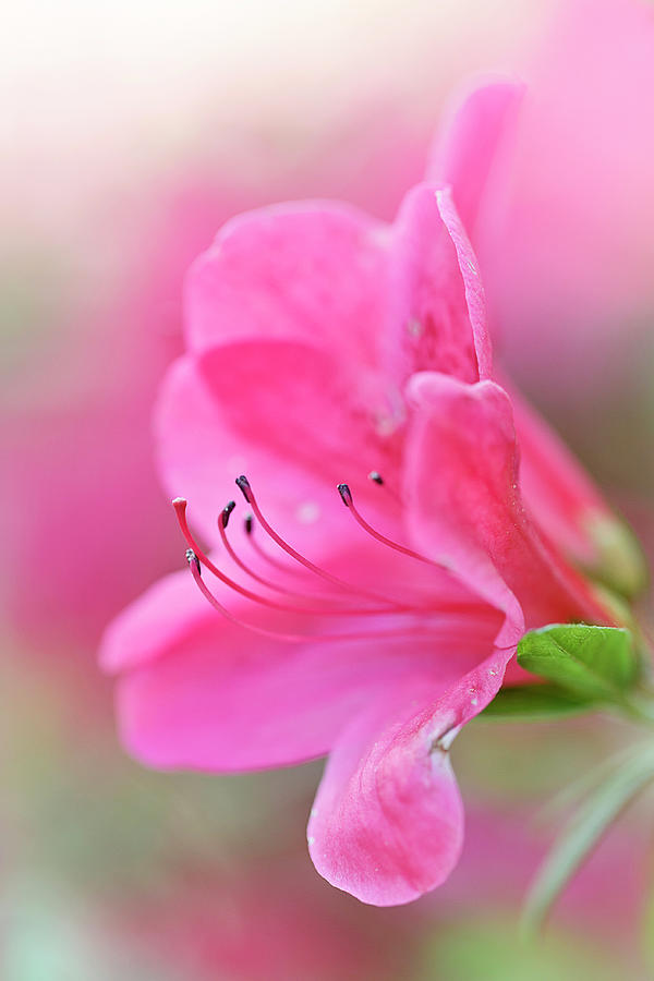 Blushing Pink Rhody by Wes and Dotty Weber