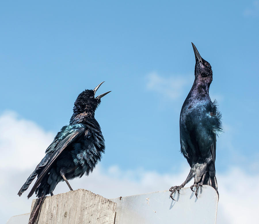 Boat Tailed Grackle Display Photograph By Norman Johnson