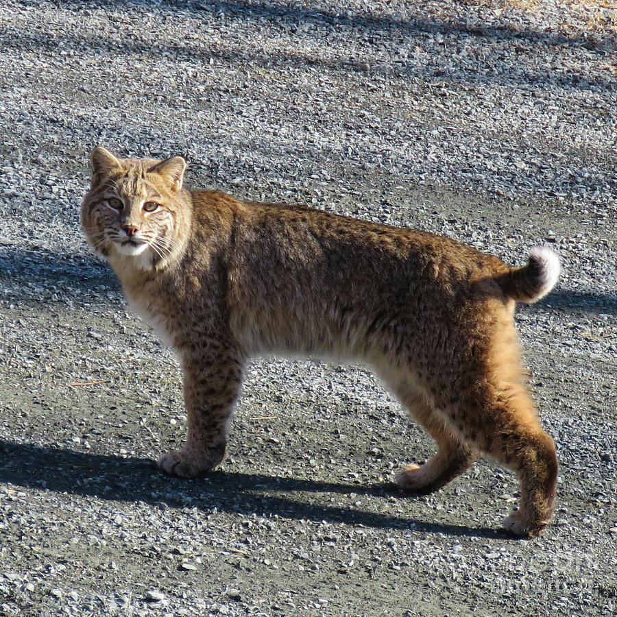 Bobcat 1 by Amy E Fraser