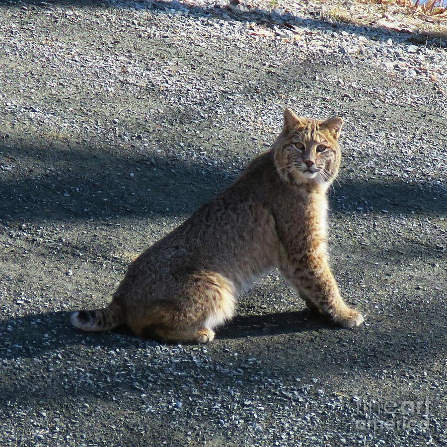 Bobcat 2 by Amy E Fraser