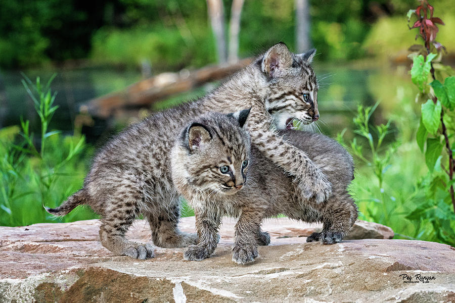 Bobcat Brothers by Peg Runyan