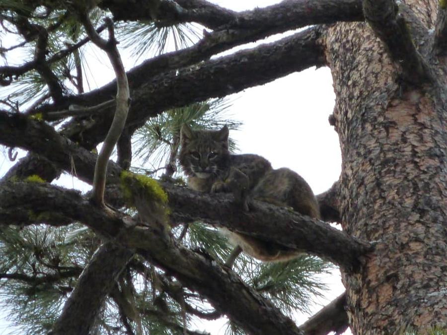 Bobcat Photograph - Bobcat Cat Bob In A Tree by Garrett Butler