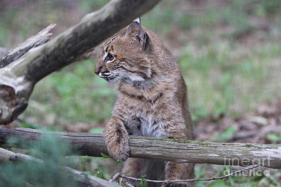Bobcat climbing by Dwight Cook