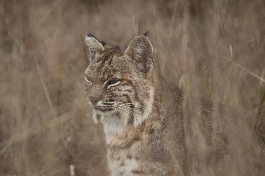 Bobcat in Tall Grass by Paul Comish