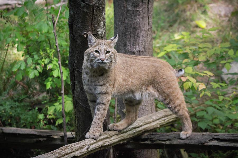 Bobcat Photograph - Bobcat by James Farrell