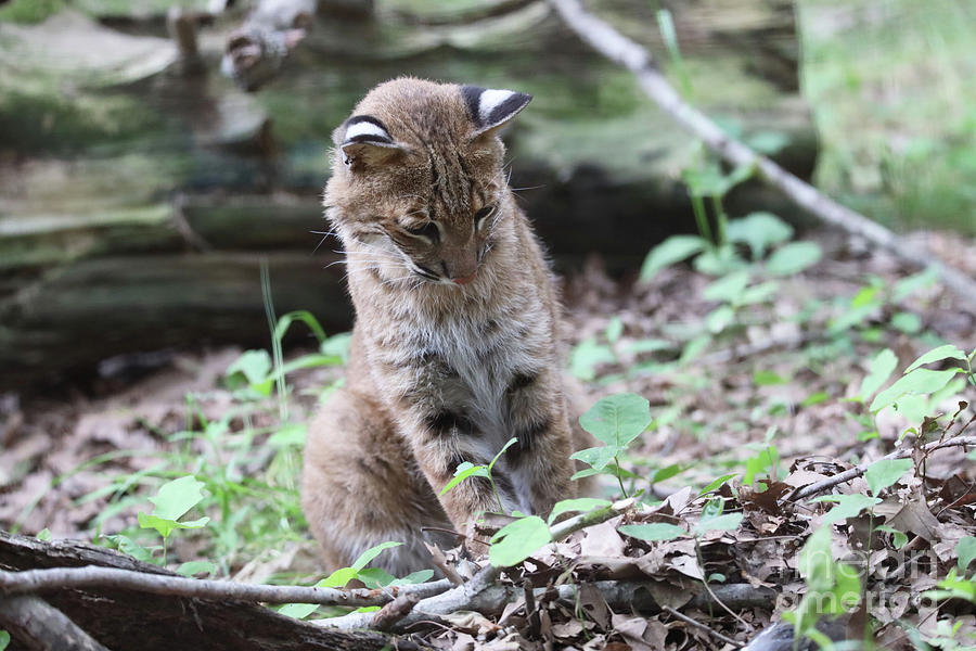 Bobcat playing by Dwight Cook