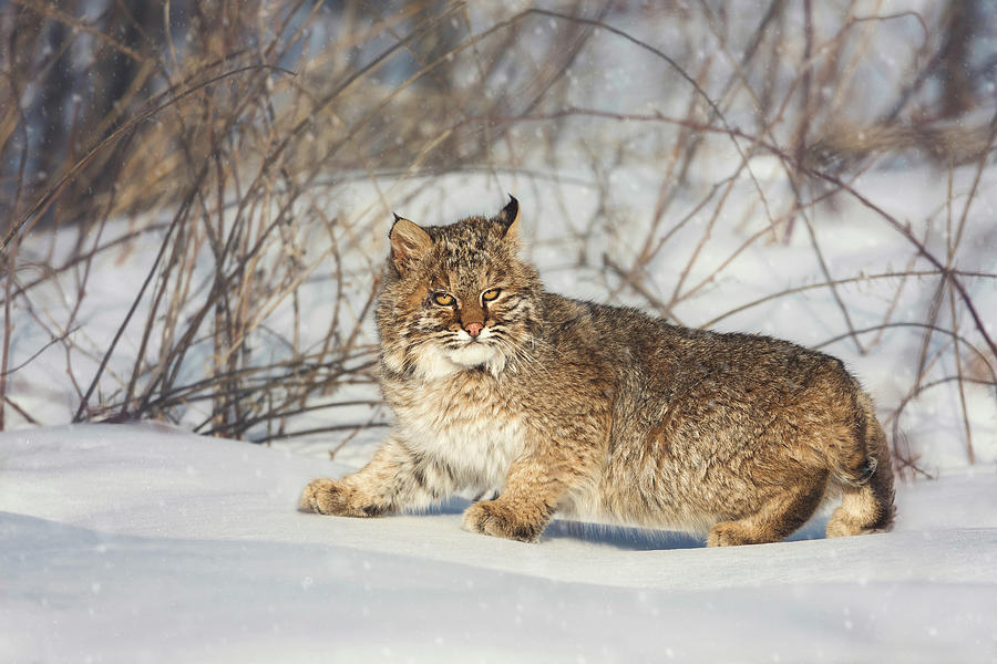 Bobcat by Tracy Munson