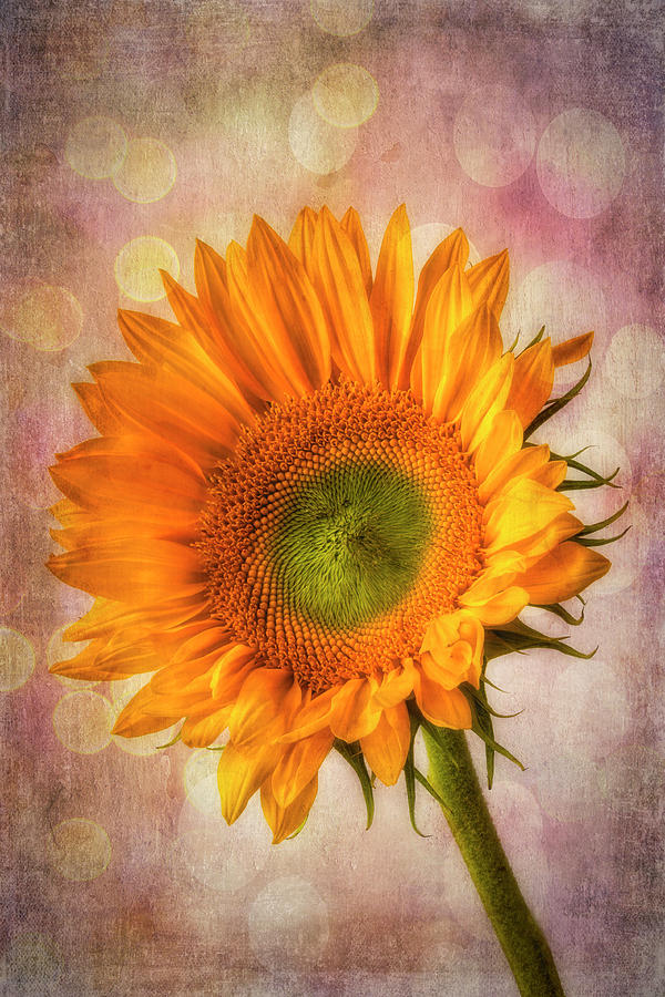 One Photograph - Bokeh Sunflower by Garry Gay