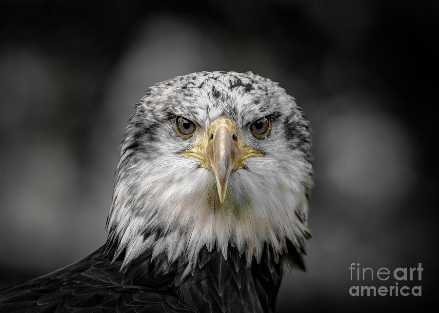 Bold Eagle Eyes by Alex Hiemstra