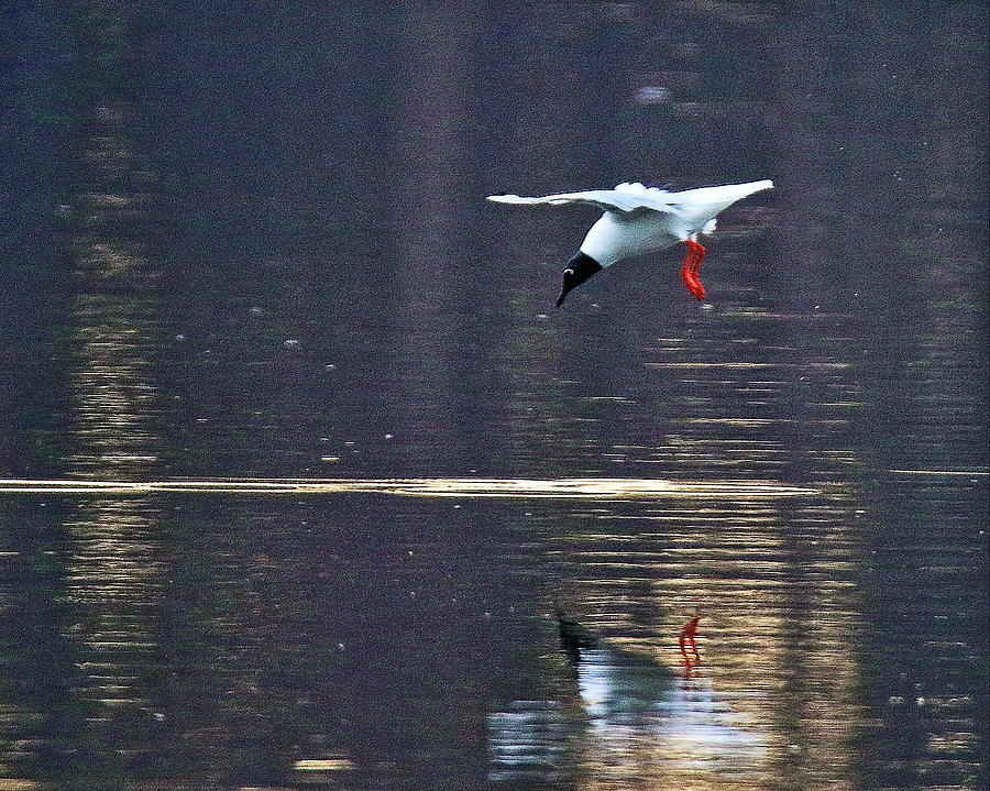 Bonaparte's Gull Staging by Arvin Miner