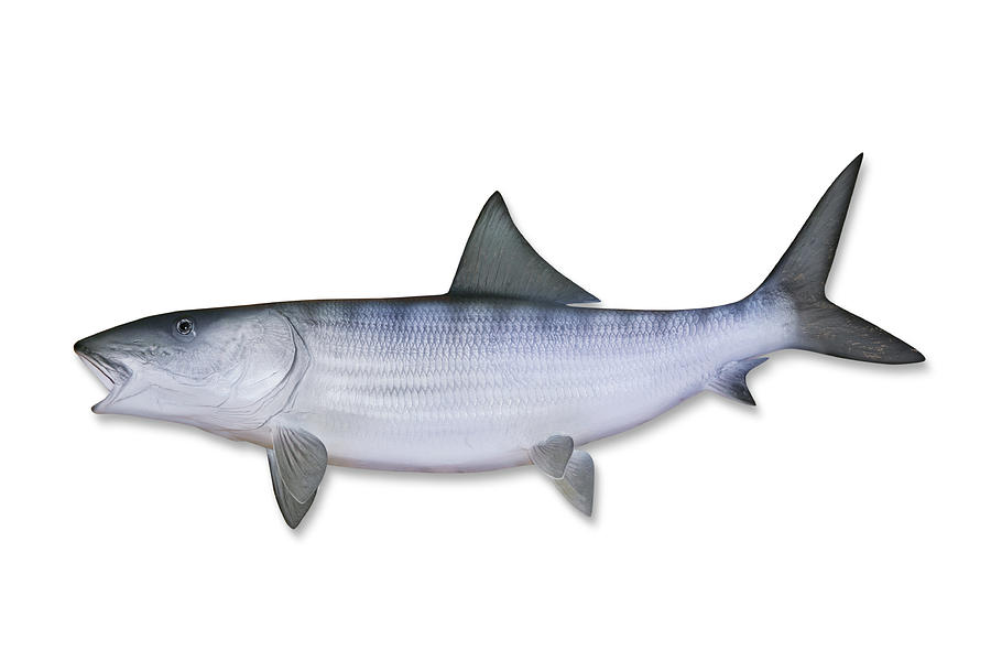 Bonefish With Clipping Path Photograph by Georgepeters