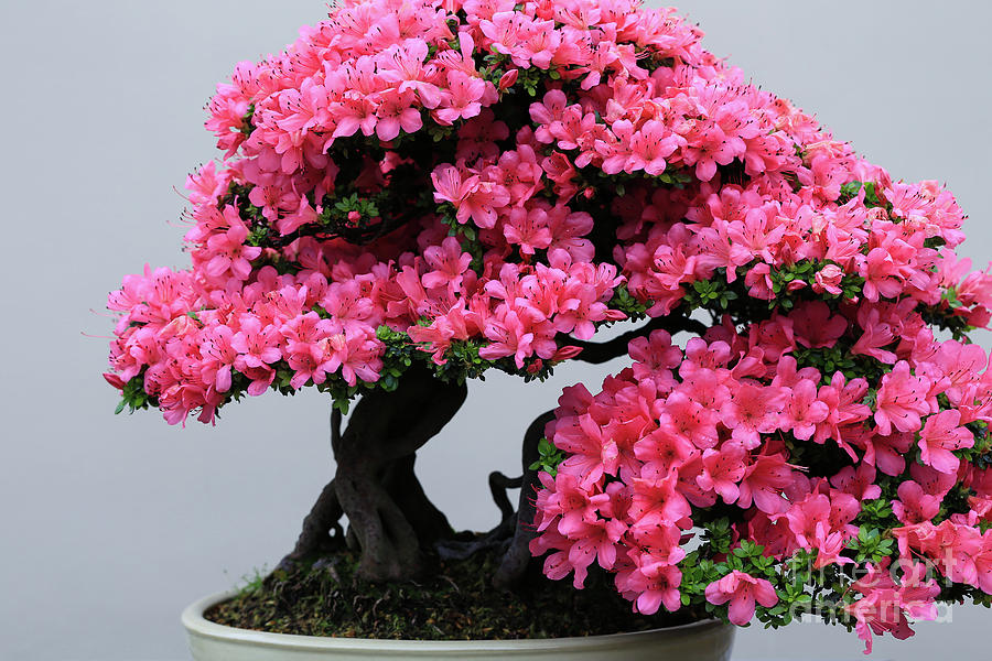 Bonsai Azalea Bright Pink by Rachel Cohen
