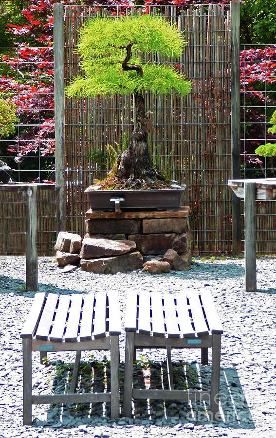 Bonsai Pine Tree 300 Photograph
