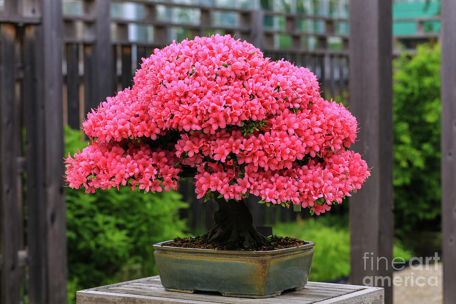 Bonsai Pink Azalea View by Rachel Cohen