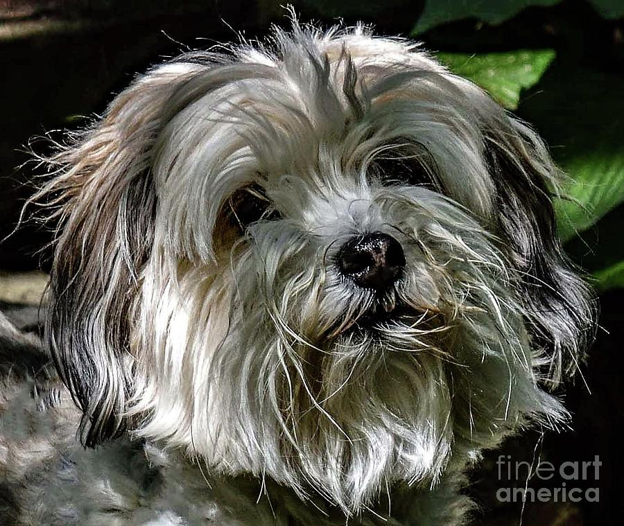 Boopers - Havanese Photograph