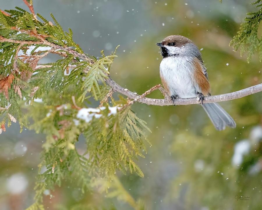 Boreal Chickadee in Winter by Judi Dressler